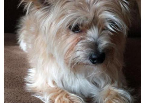 6 year old, female Yorkie/Maltese for sale